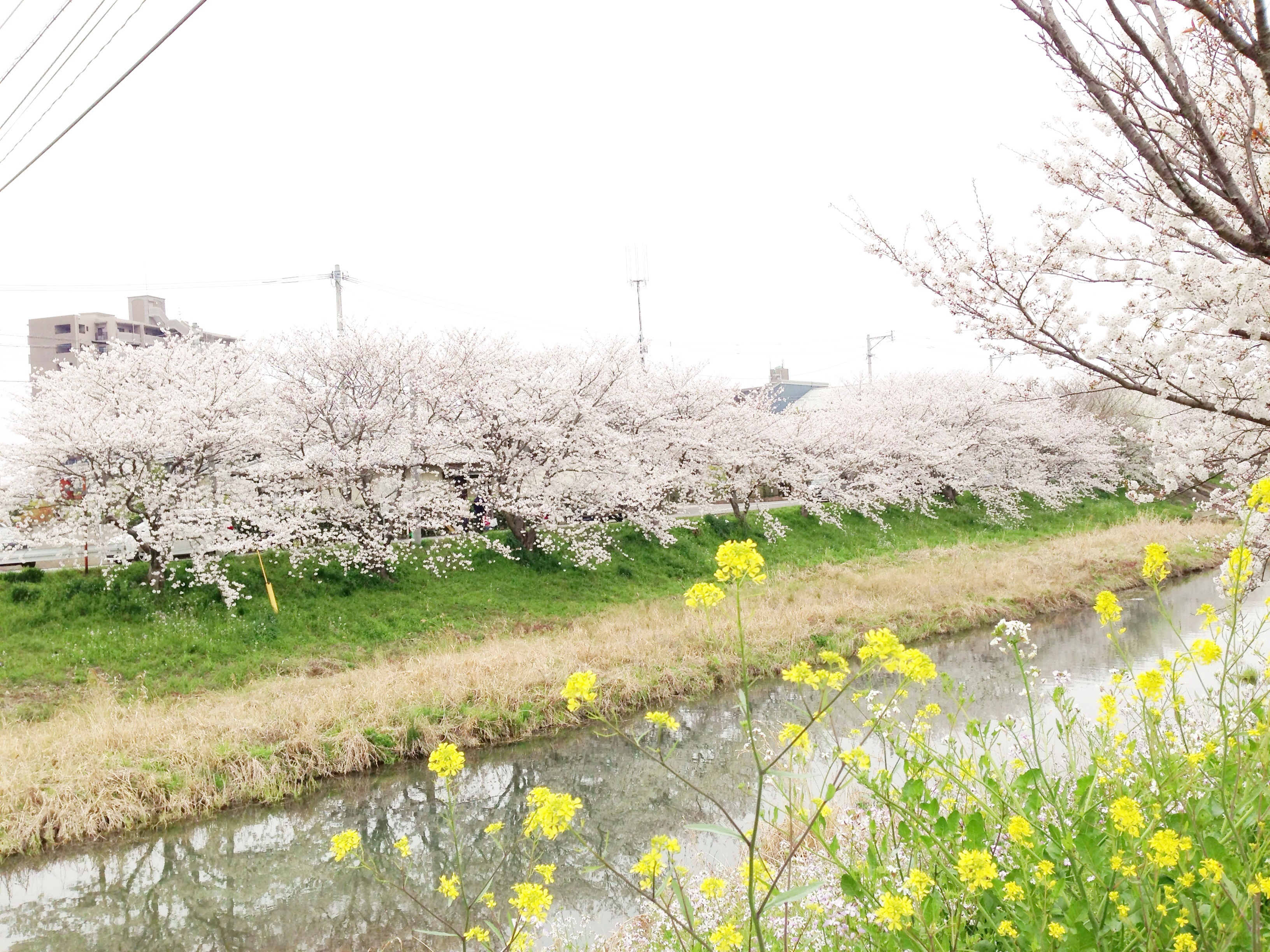 【糸島】食べて飲んでばかりが花見じゃない!周船寺~波多江をゆっくり散策。桜の美しさを楽しみました!