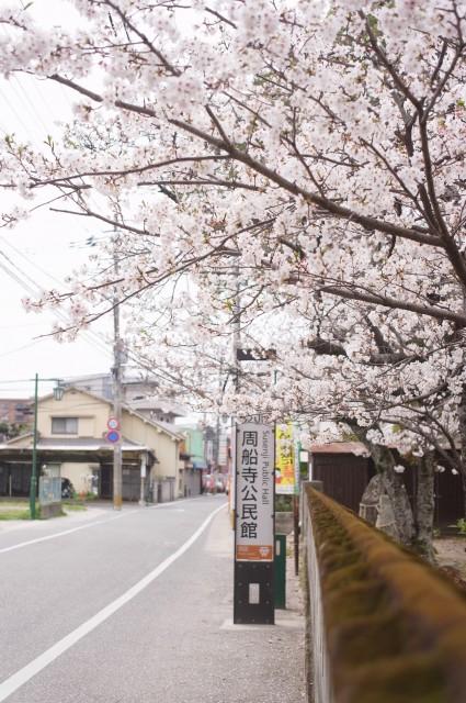 神社にも桜はありますよね