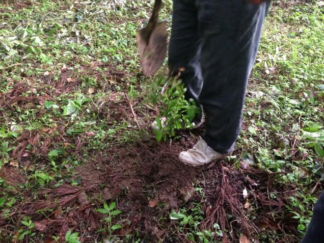 土で埋めて周りをある程度踏み固める