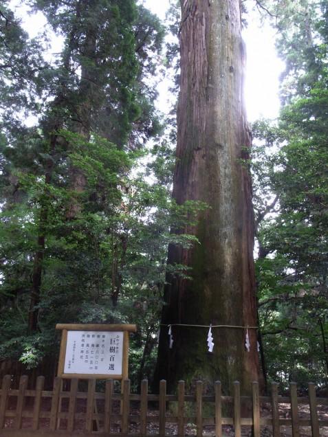 樹齢800年!