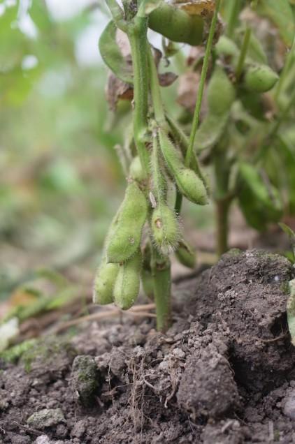 枝豆がたくさんなってます!