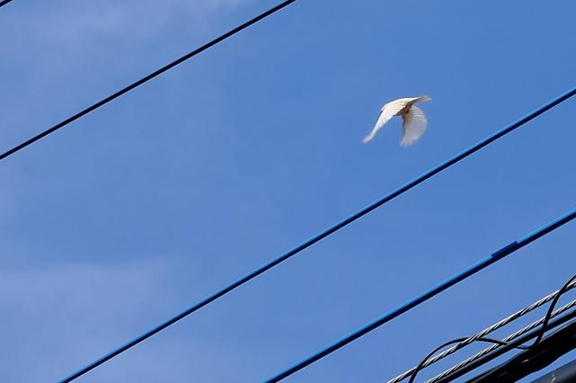 Blue Roof – 世界的にも激レア!白いスズメがブルールーフの店先にいるぞ!